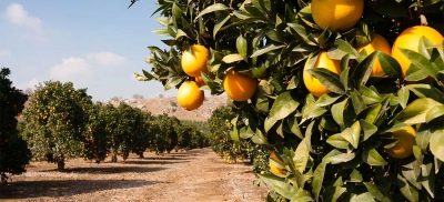 Florida Orange Orchard