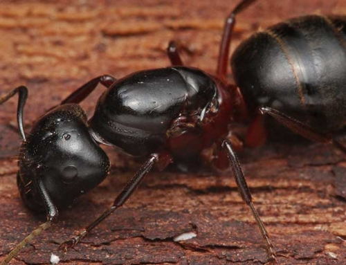 Carpenter Ants – Get Rid of Carpenter Ants