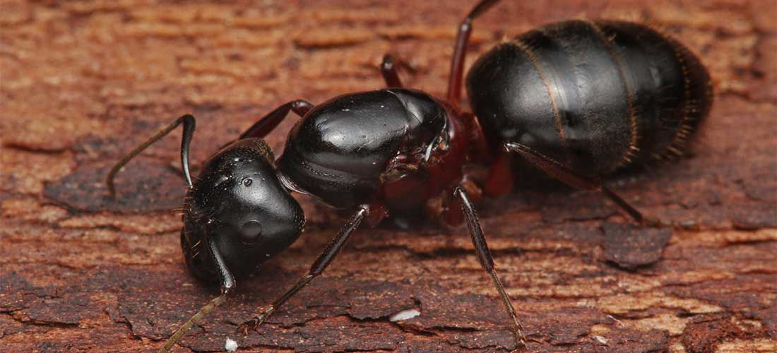 Carpenter Ants Get Rid Of Carpenter Ants Epestsupply Articles