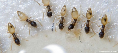 Ghost Ants Feeding on Gel Bait