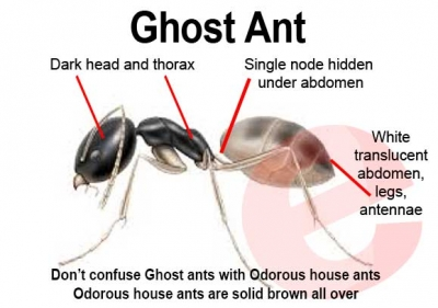 Ghost ant pictorial