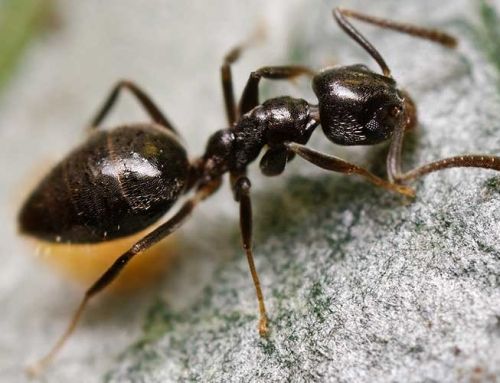 Get Rid of Odorous House Ants