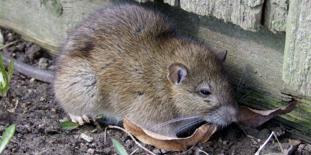 How To Get Rid Of Norway Rats Epestsupply Articles