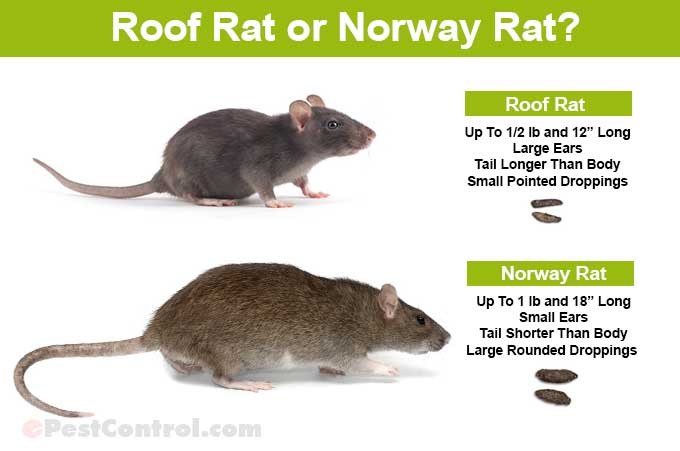 Roof-Norway-Rat-Identification